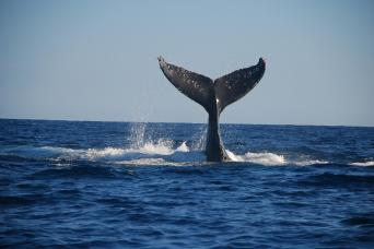 Whale lifting tail out of ocean on tour from Los Cabos, Mexico