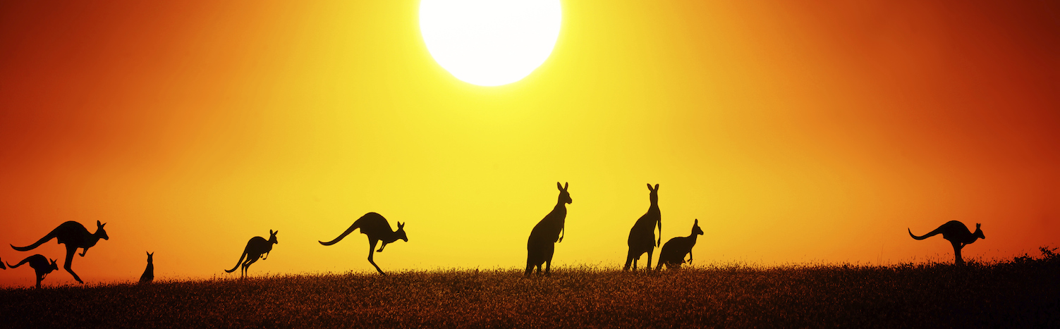 Kangaroos on a sightseeing tour in Australia